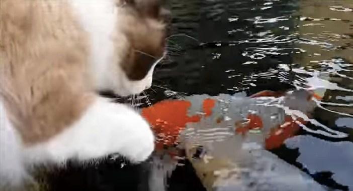 コイと遊ぶ猫