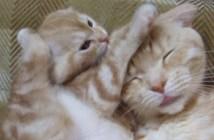 子猫にもみくちゃにされる母猫