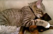 子犬を寝かしつける子猫