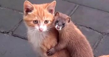 可愛い子猫に一目惚れしちゃったイタチ君。どうやら離れられなくなったようで… ( *´艸`)♡