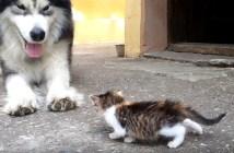 子猫の勢いに負ける大型犬