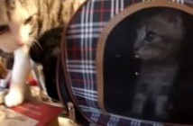 初対面の子猫にフーされた猫