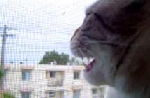 ニワトリの鳴きまねをする猫