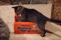 ラーメンの箱に入ろうとする子猫