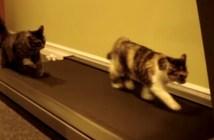 ランニングマシンを走る猫