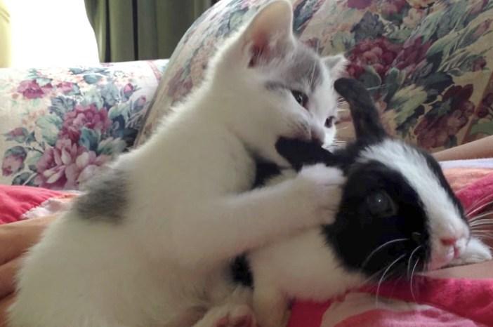 ウサ耳が大好きな子猫