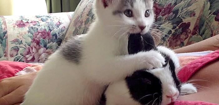 うさぎの耳をハムハムする子猫