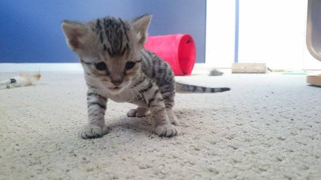 少しずつ大きくなっていく子猫