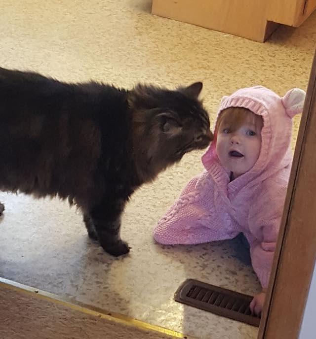 赤ちゃんの子守りをするメインクーン