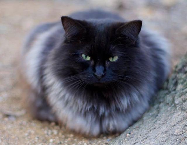 銀色の毛になった猫