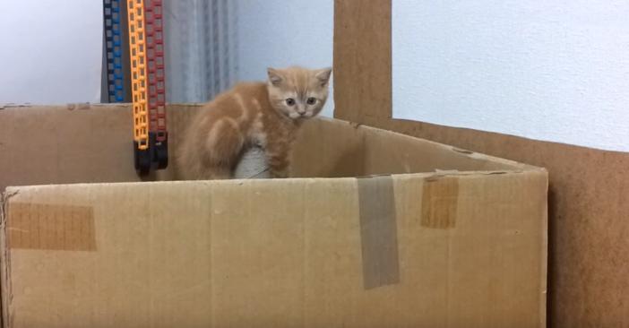 ダンボール箱から脱出しようとする子猫