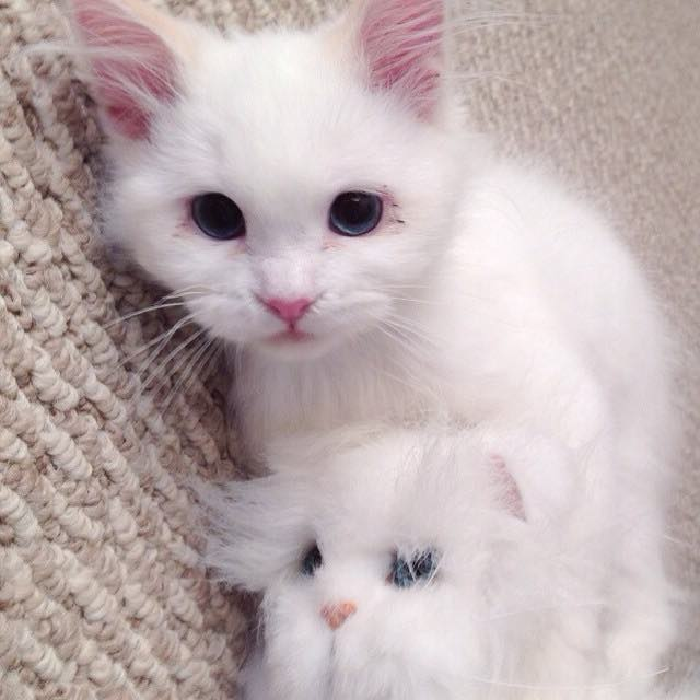 フワフワの綿毛のような猫