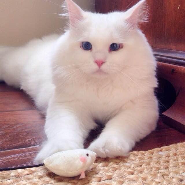 オモチャで遊ぶフワフワ猫