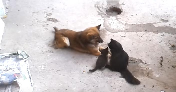 親友の犬に子猫を紹介する母猫