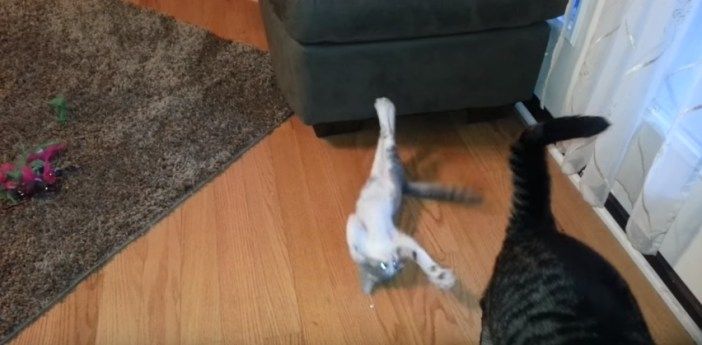 大人猫に攻撃