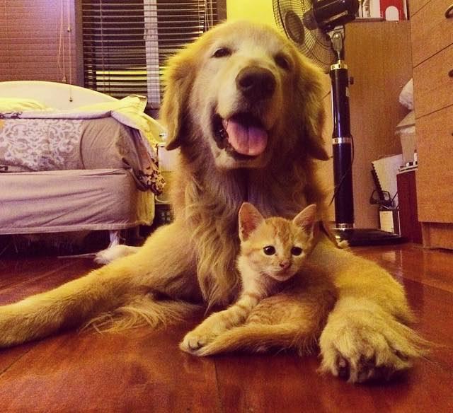 ゴールデンレトリバーに抱かれる子猫
