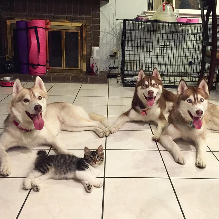 仲良しなハスキー犬と子猫