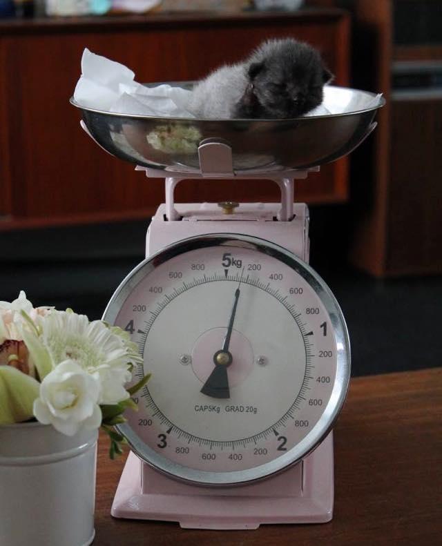 体重を量る子猫
