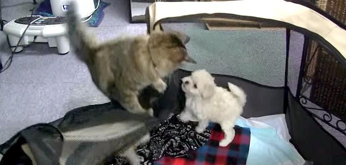 子犬を脱走させる猫