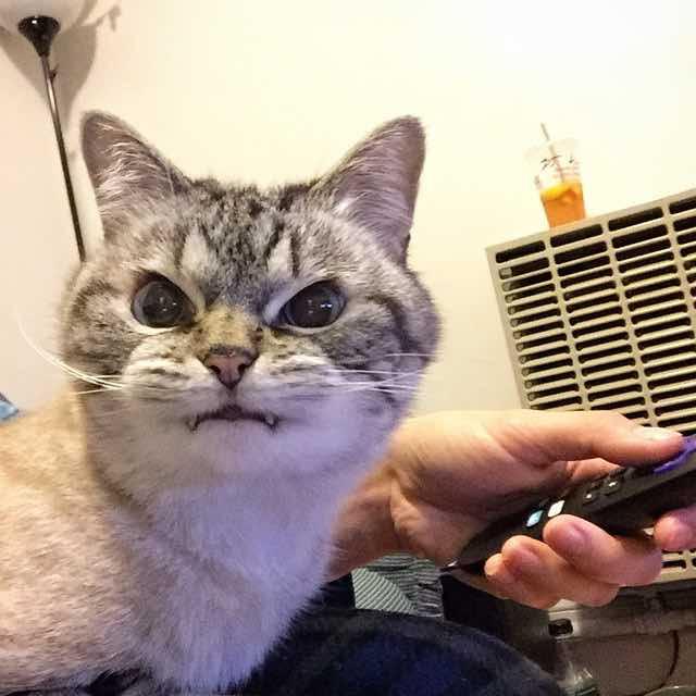 こちらを見る牙のある猫ロキ