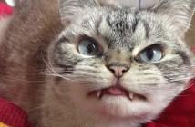 キバのある猫ロキ