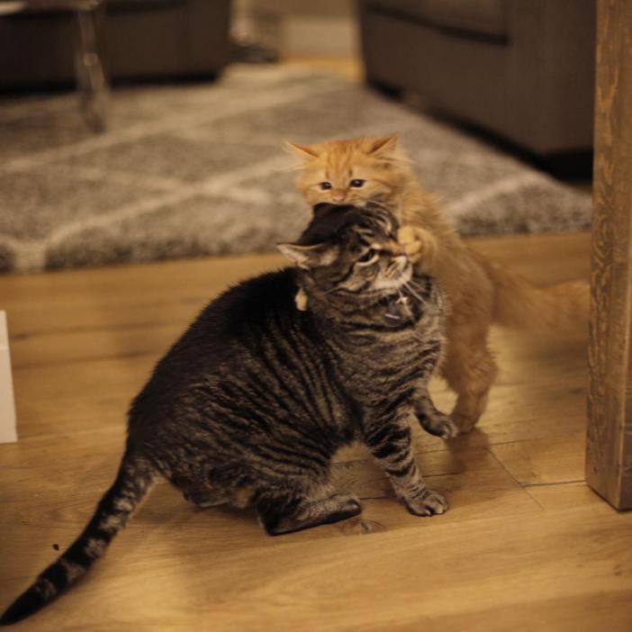 先住猫と遊ぶ子猫