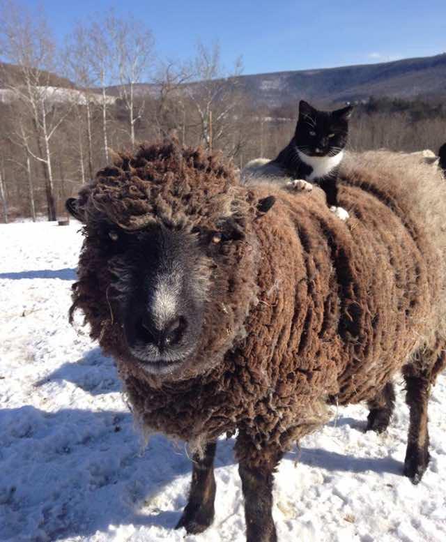 羊の上に乗る猫