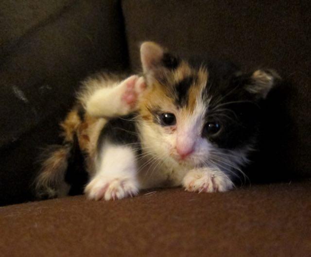 小さい三毛猫
