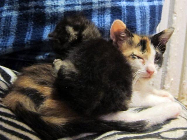 三毛猫に抱きつく子猫