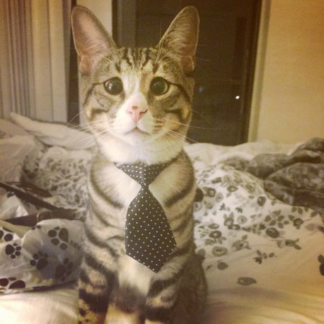 ネクタイ姿の猫