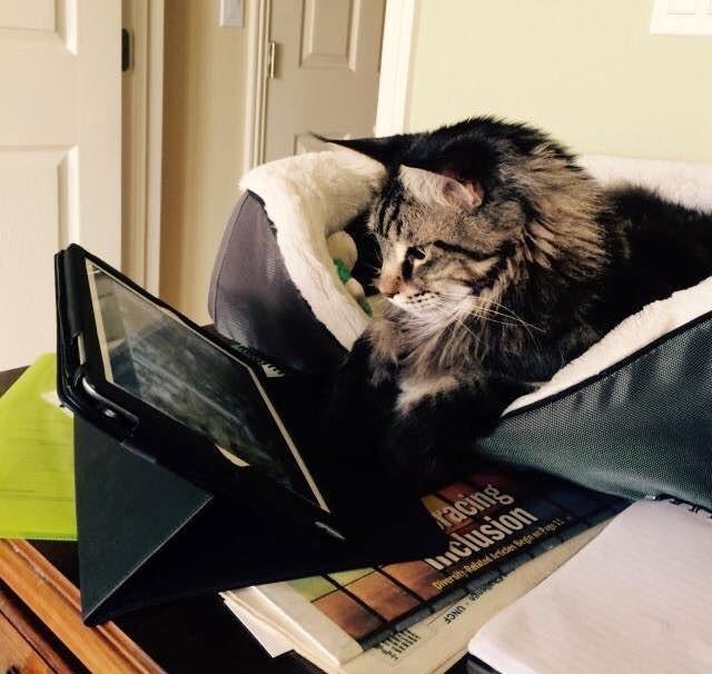 動画を見る猫メインクーン