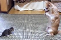 チワワと子猫のボクシング