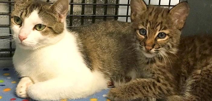 ボブキャットの赤ちゃんと母猫
