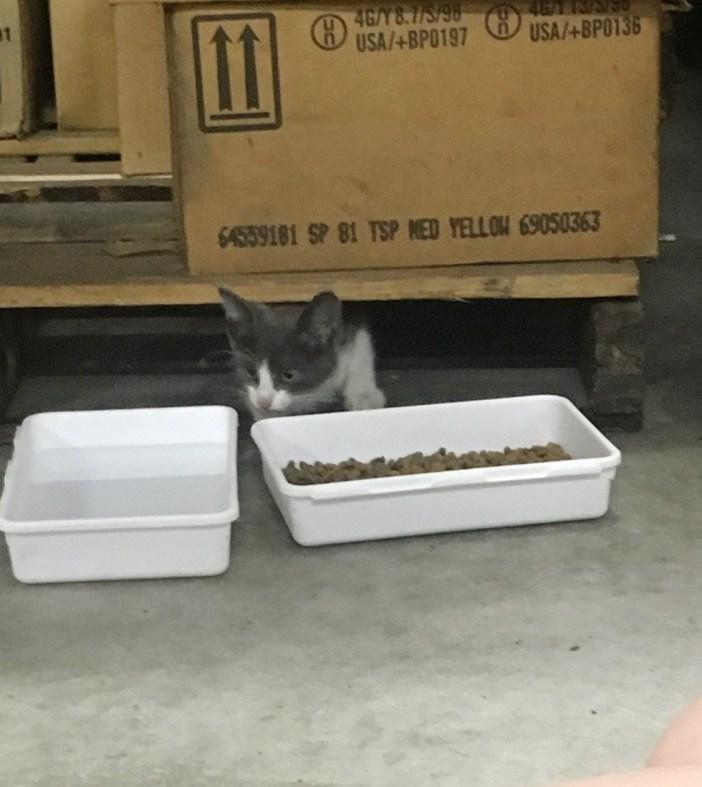 ご飯を食べにきた子猫