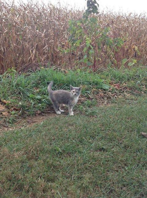 トウモロコシ畑の子猫