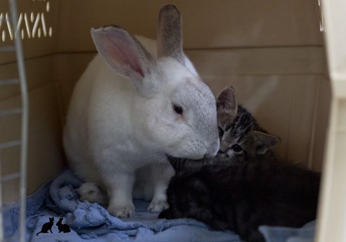 子猫の世話をするウサギ