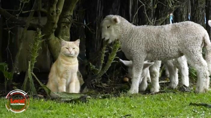仲良しな猫と羊