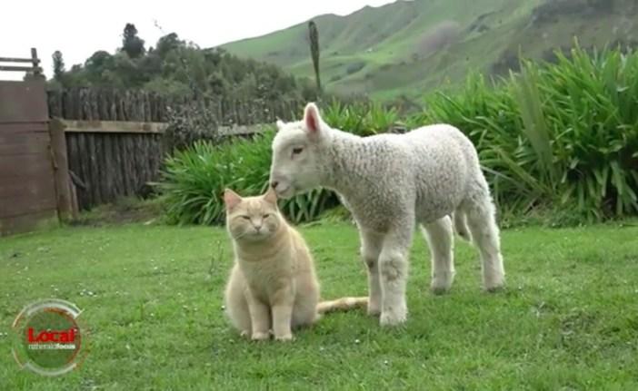 いっしょの猫と羊