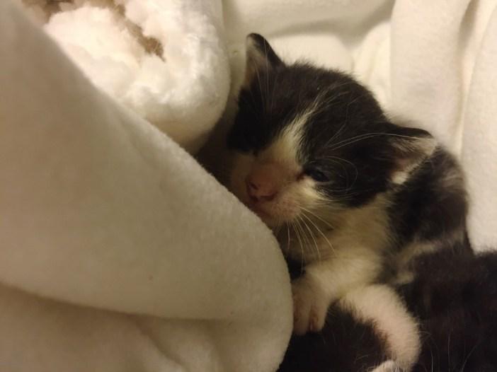 タオルと子猫