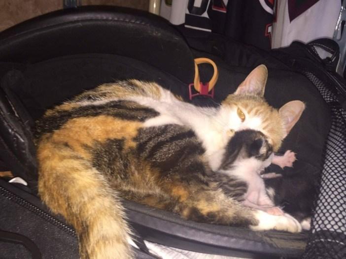バッグの中で子育てする母猫