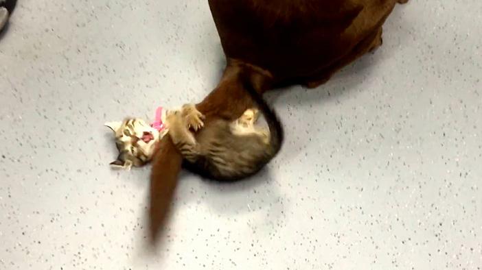 犬のシッポに掴まる子猫