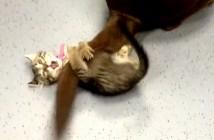 犬のシッポを捕まえたい子猫