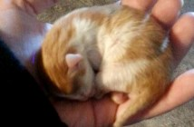 手の平で丸まる子猫