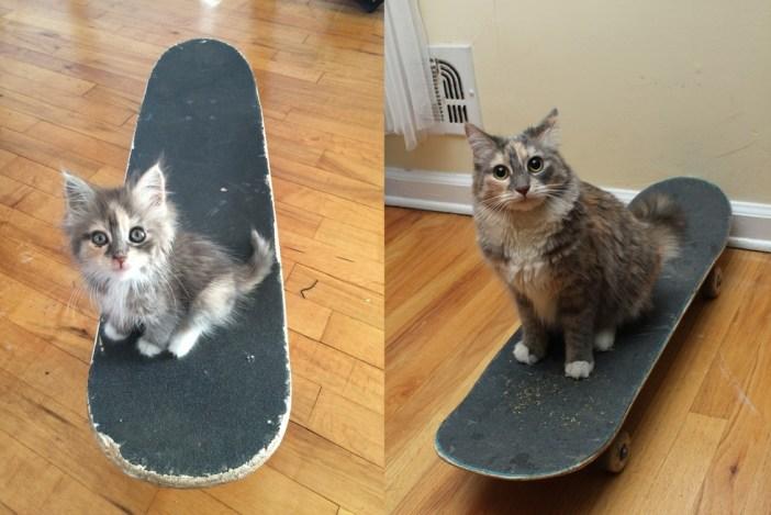 スケートボードになる子猫と成長後の姿