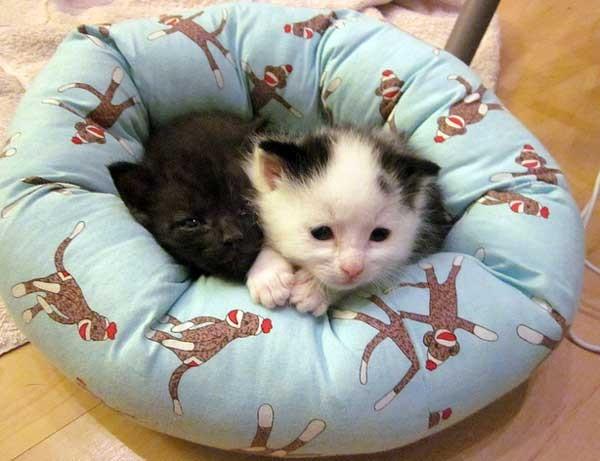 ベッドに収まる子猫