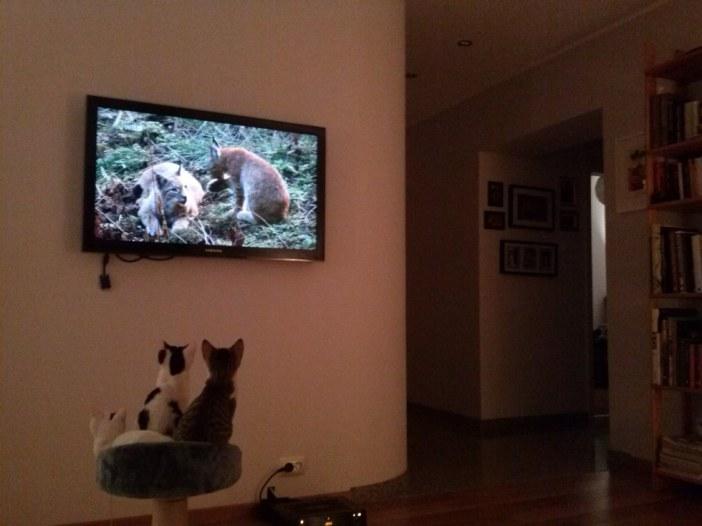 テレビを見る子猫たち