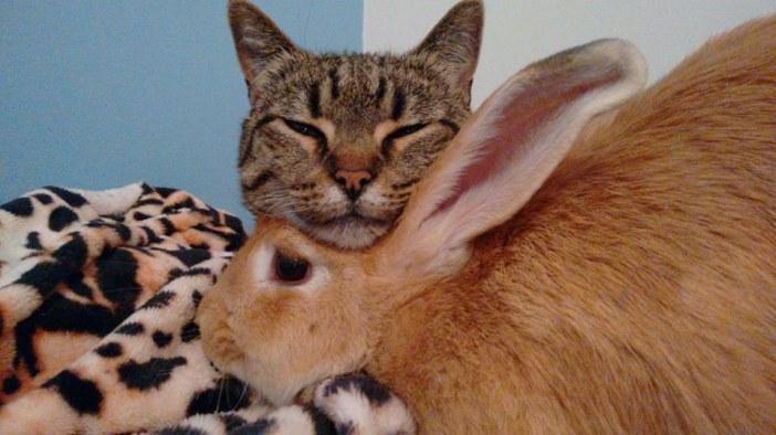 ウサギに顎を乗せる猫