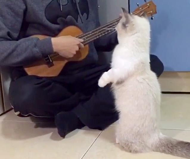 ウクレレの演奏を要求する猫