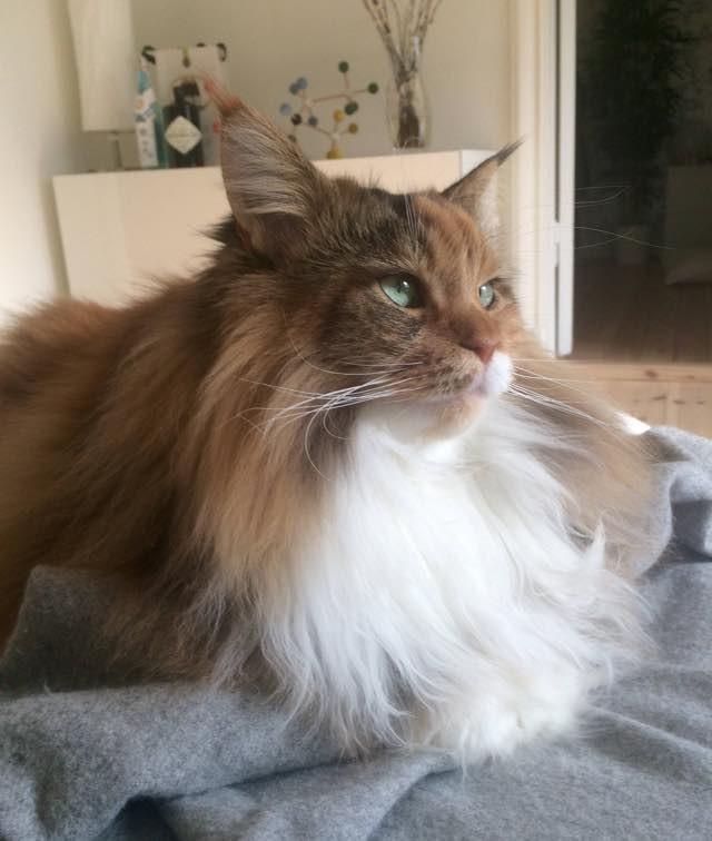 すごい毛の猫
