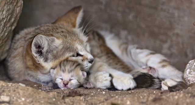 子猫を可愛がるサンドキャトの母猫